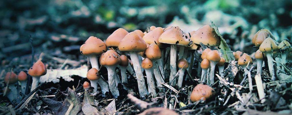 Psilocybe Azurescens