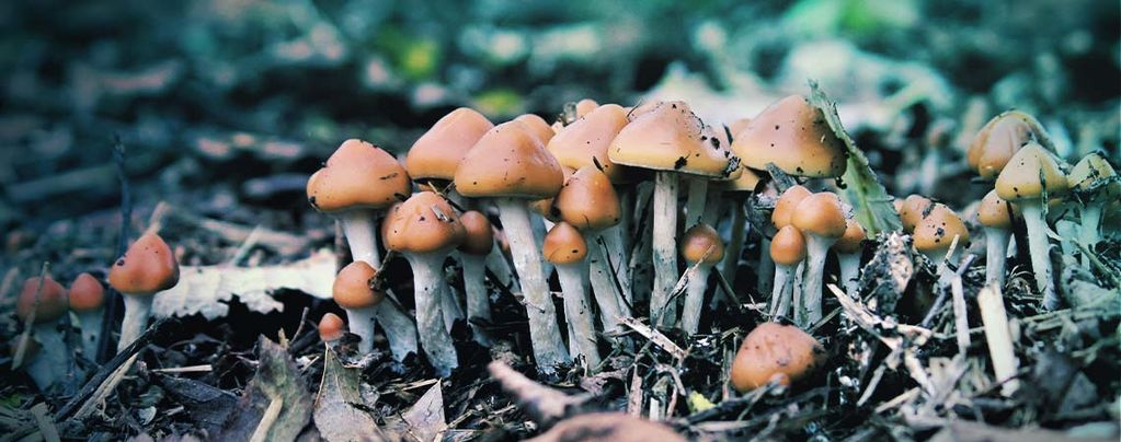 Magic Mushrooms: The Wonders of Psilocybe Azurescens
