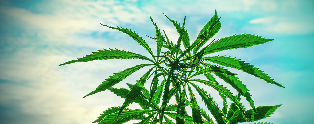 Cannabissamen Warme Klimazone