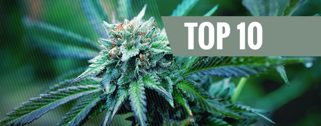 La Top 10 delle varietà di Marijuana Terapeutica