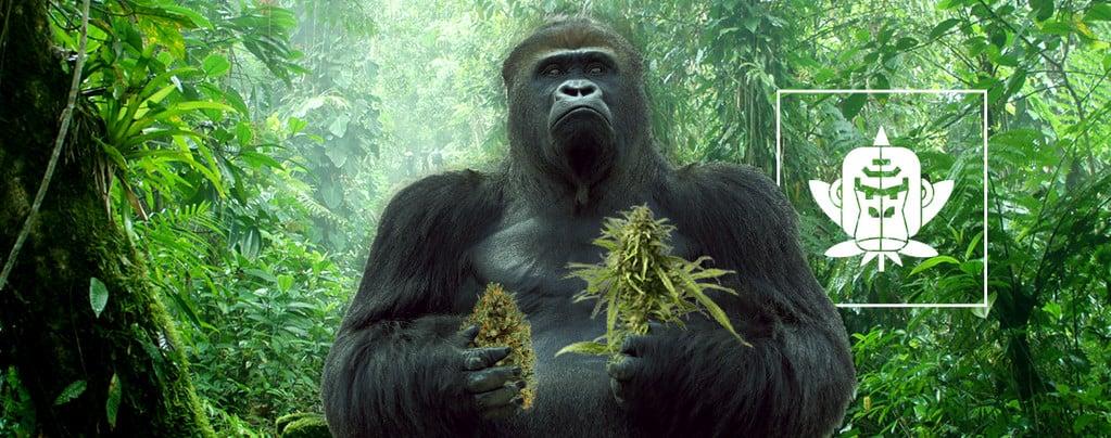 Varietà di Cannabis Gorilla Glue