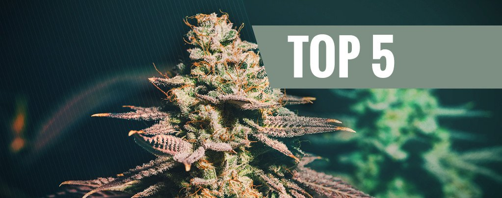 Top 5 Cannabis Strains For Late Growers
