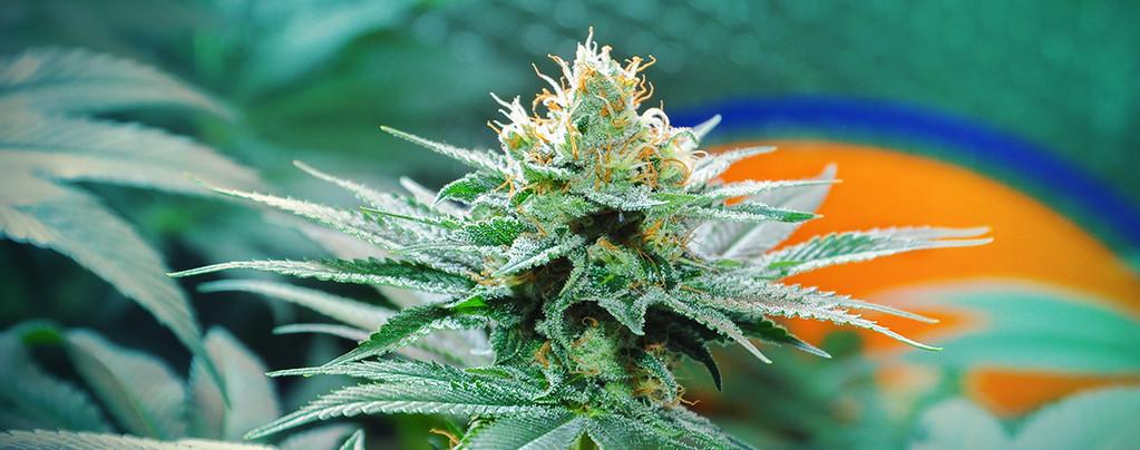 Origini della Cannabis Amnesia