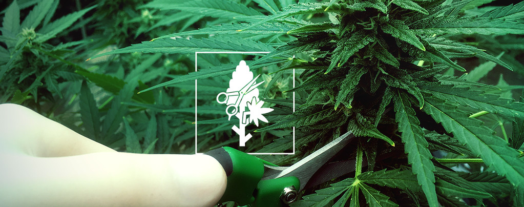 Cannabis Trimming Techniques and Tips