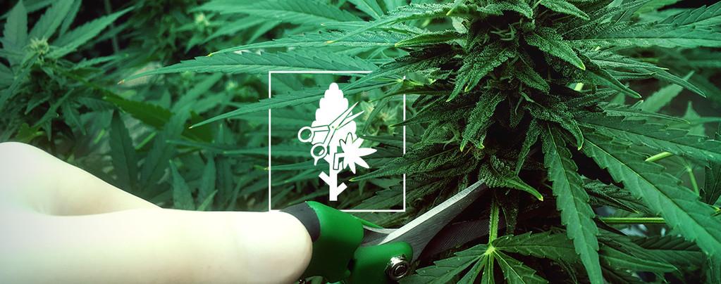 Die 4 Besten Beschneidungstechniken Für Deine Cannabispflanzen