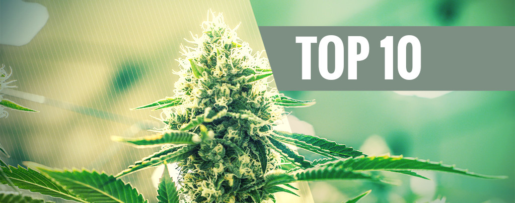 The Origin Of OG Kush Cannabis And The Top 3 OG Kush Strains