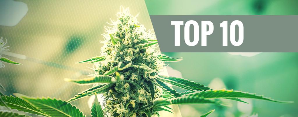 Varietà Di Cannabis Kush