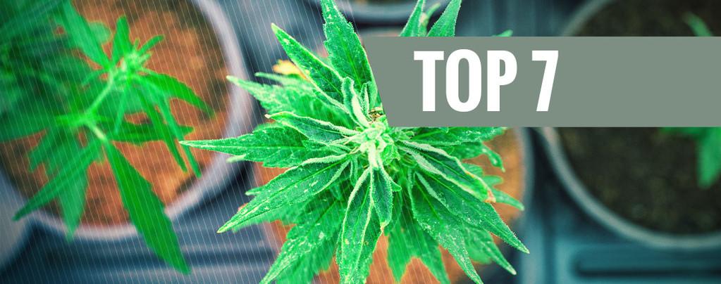 Cannabissorten Mit Einem Einzigartigen THC:CBD Verhältnis