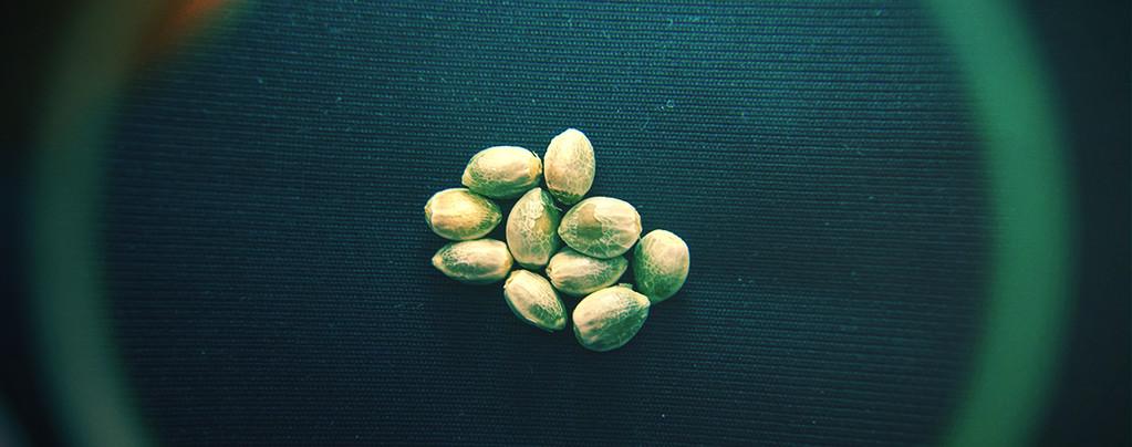 Top 10 Feminized Cannabis Seeds