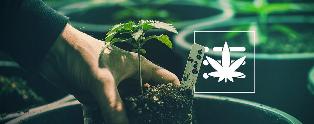 La Prima Pianta Di Cannabis
