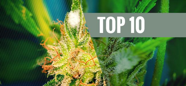 Le 10 Varietà Di Cannabis Più Resistenti Alla Muffa