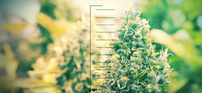 Le 10 Migliori Piante Di Cannabis Compatte