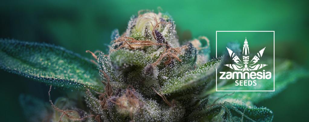 Nuova Genetica Da Zamnesia: Auto Purple CousKush