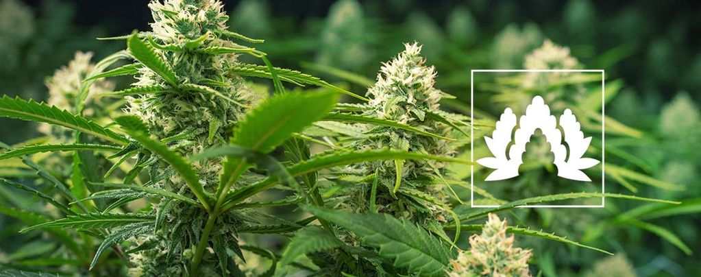 Best Cannabis Strains For A Sea of Green