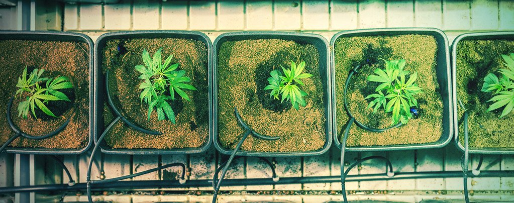 5 Ways To Increase Cannabis Yields