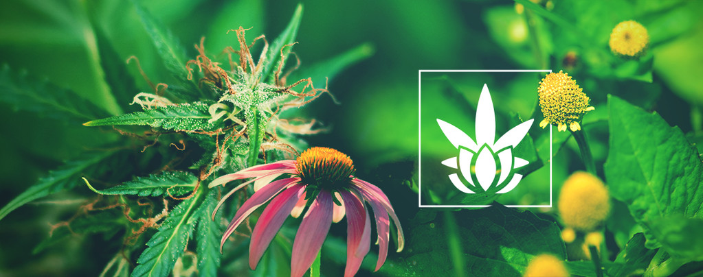 Alternative Plants Contain Cannabinoids