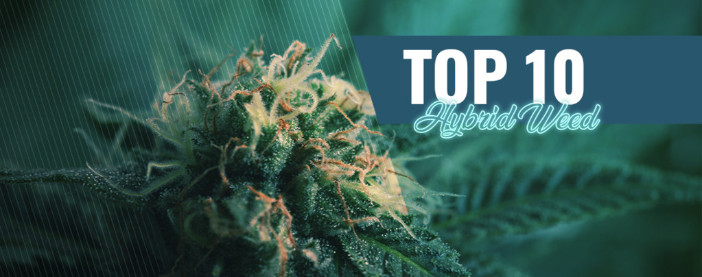 Amsterdam's Best 10 Coffeeshops Hybrid Cannabis