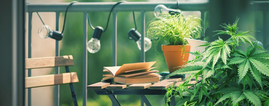 Top 10 Cannabis Strains To Grow On A Balcony Or Terrace