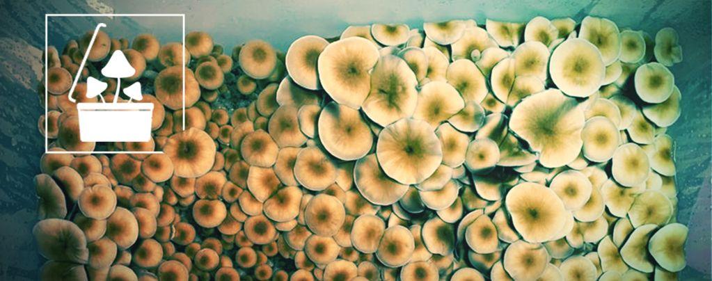 Grow Magic Mushrooms In Bulk Using Monotub Tek