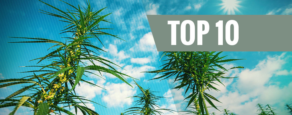 Top 10 High-Yielding Feminized Cannabis Strains