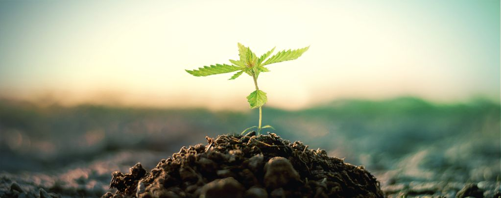 Compost For Growing Cannabis