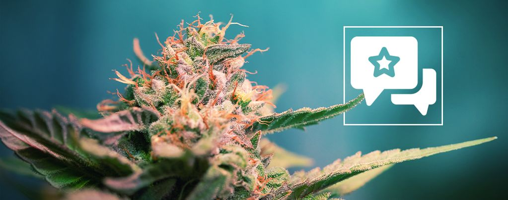 AK-47 (Sensation Seeds) feminized