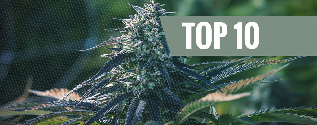 Top 10 Most Exclusive Cannabis Strains
