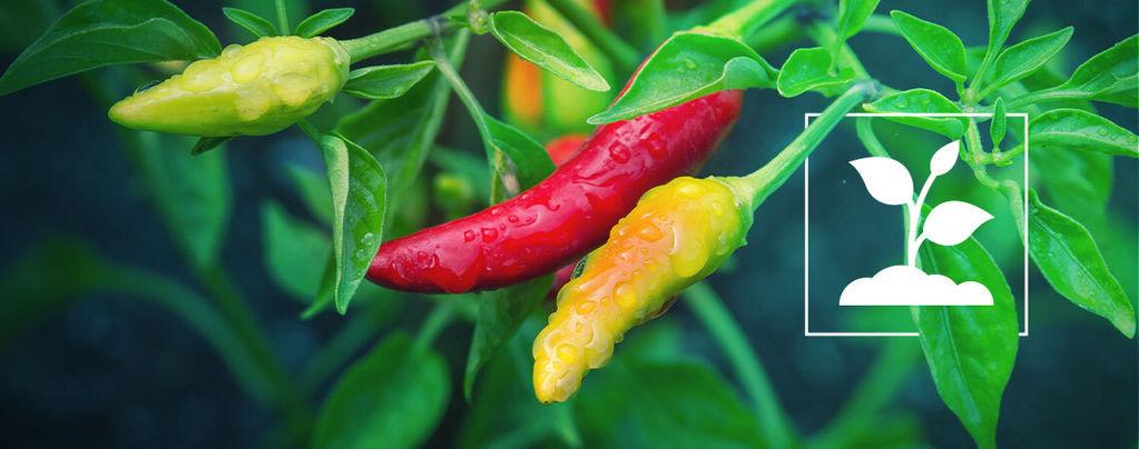 Growing Peppers For Beginners In 10 Easy Steps