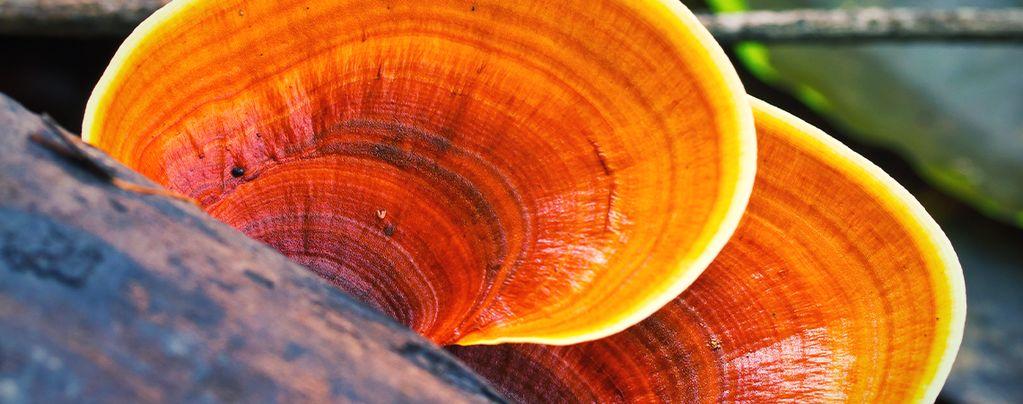 What Is Reishi Mushroom?
