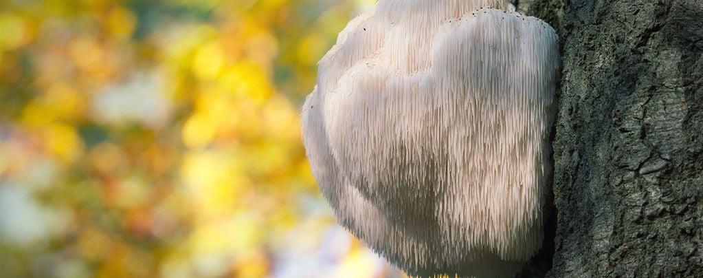 What Is Lion's Mane Mushroom?
