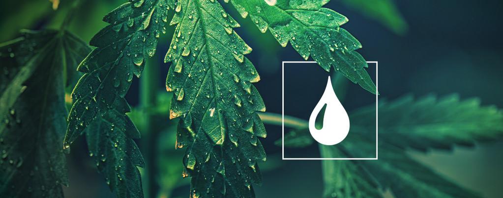 Wasser Cannabis Pflanzen