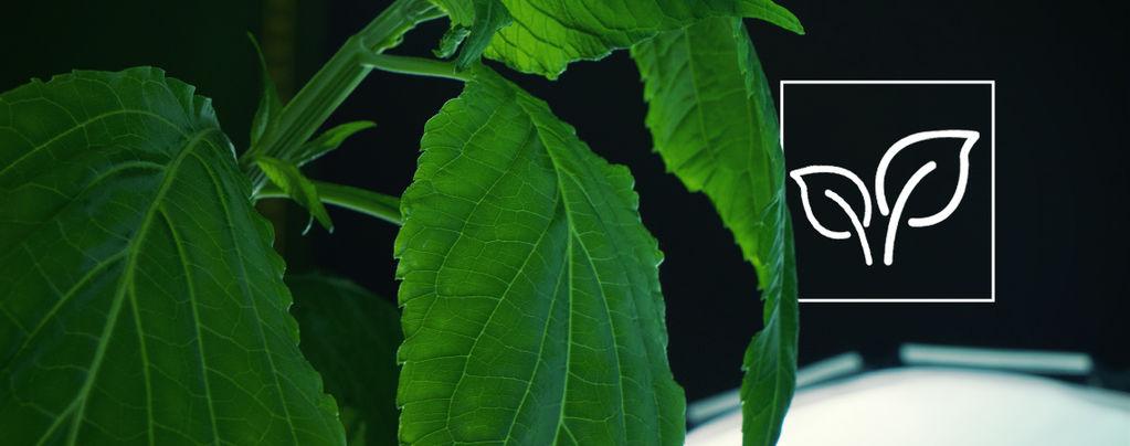 Come coltivare la Salvia Divinorum