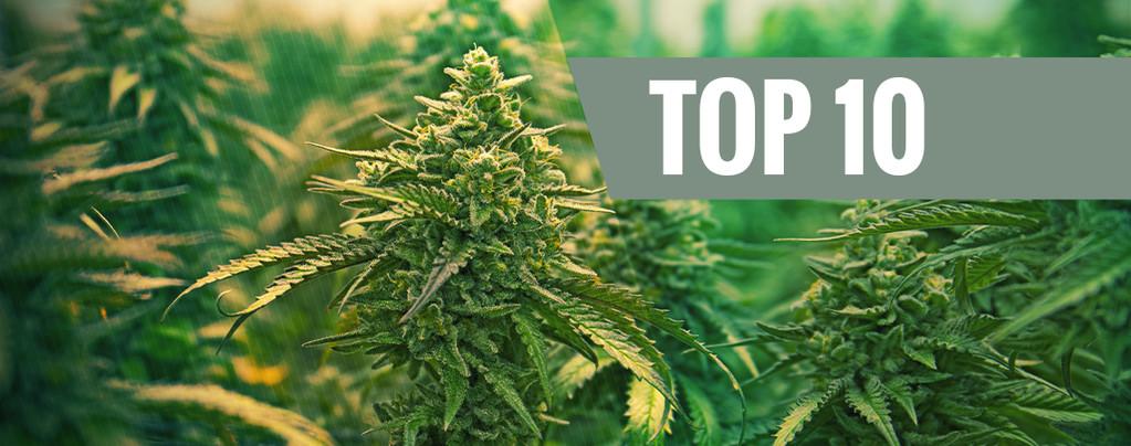 Top 10 - Le migliori varietà di Cannabis femminizzata