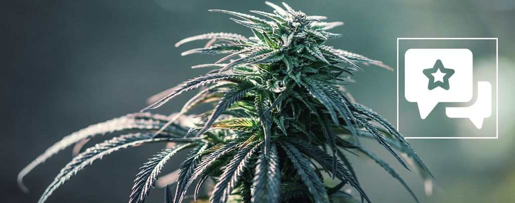 Strain Review: Northern Lights
