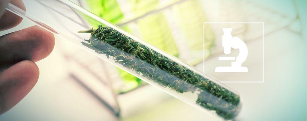 Mehr als Cannabinoide: Flavonoide, Terpene und Terpenoide im Cannabis