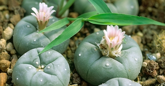How To Graft Peyote
