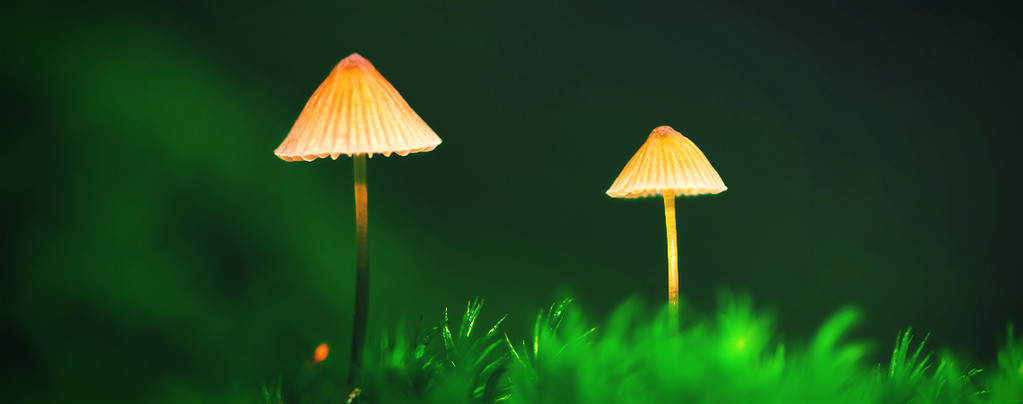 Come coltivare funghi magici all'aria aperta