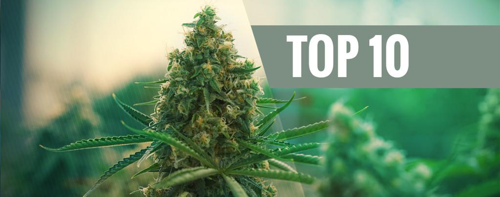Le 10 Migliori Varietà Di Cannabis