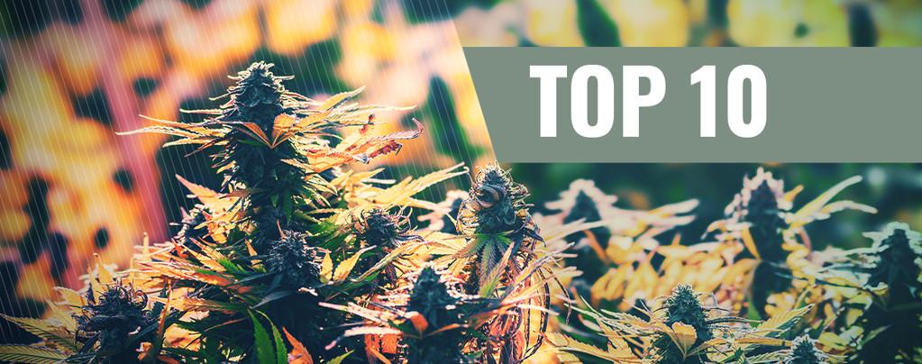 La nostra Top 10 delle migliori varietà femminizzate per out