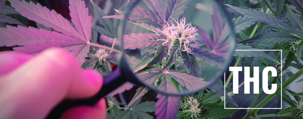 Consigli colturali: Aumenta il THC con la luce UV