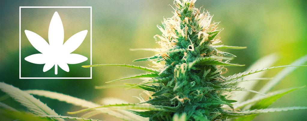 Jack Herer: Attivista per la Marijuana