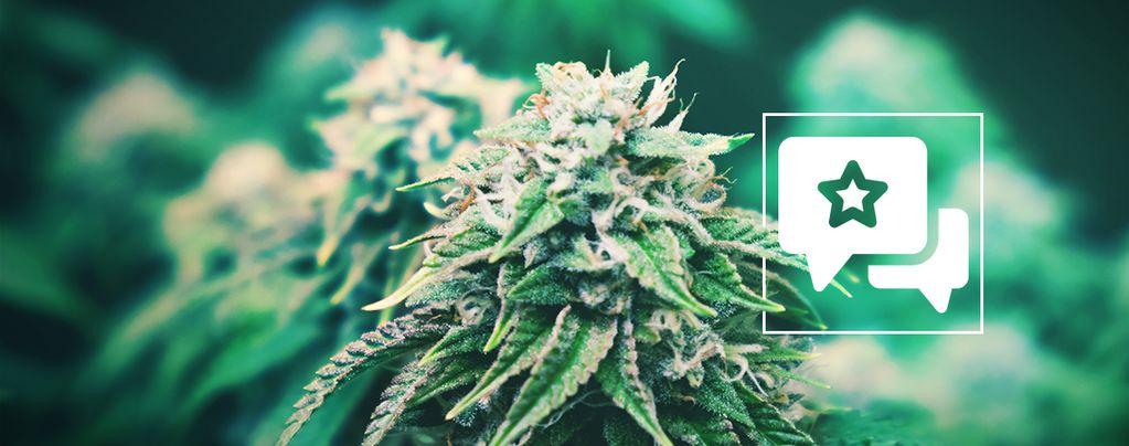 Agent Orange: Cannabis Strain Review & Information