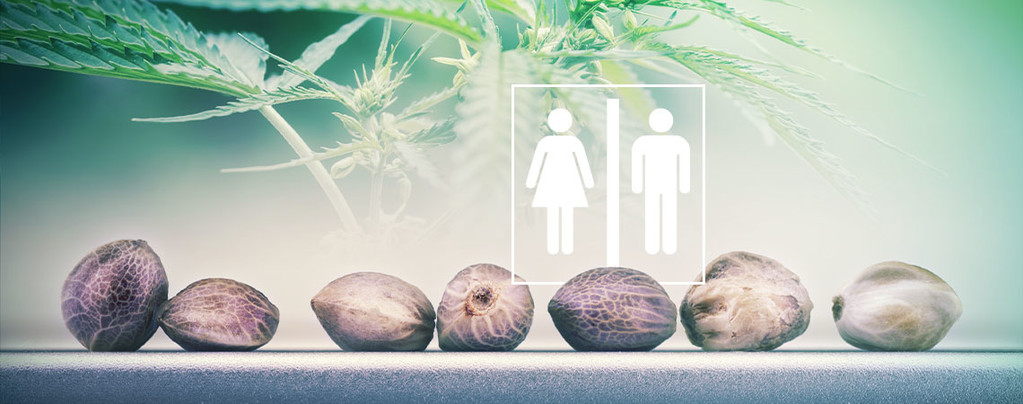 Sesso Dei Semi Di Cannabis