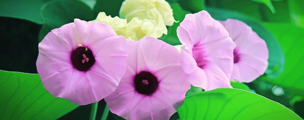 Einführung in Hawaiianische Holzrose: Ein natürliches Psychedelikum