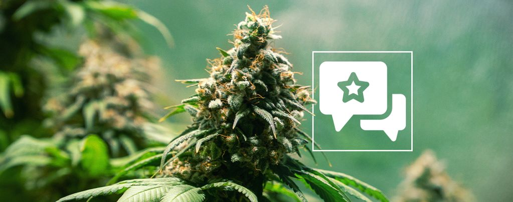 Strain Review: Jack Herer