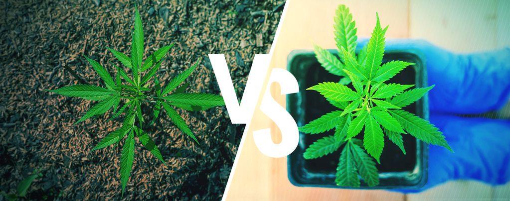 Coltivare Cannabis Outdoor: In Suolo Vs Vasi