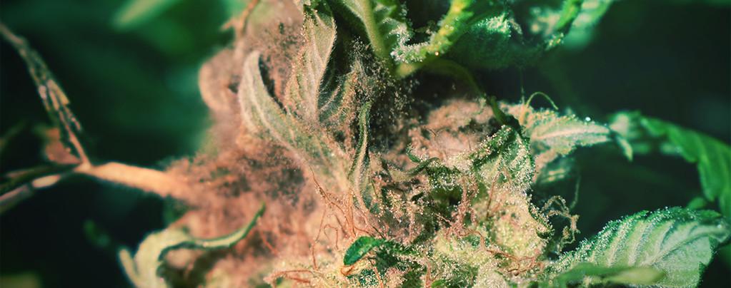 Consigli colturali: Come individuare e prevenire il marciume da Botrytis
