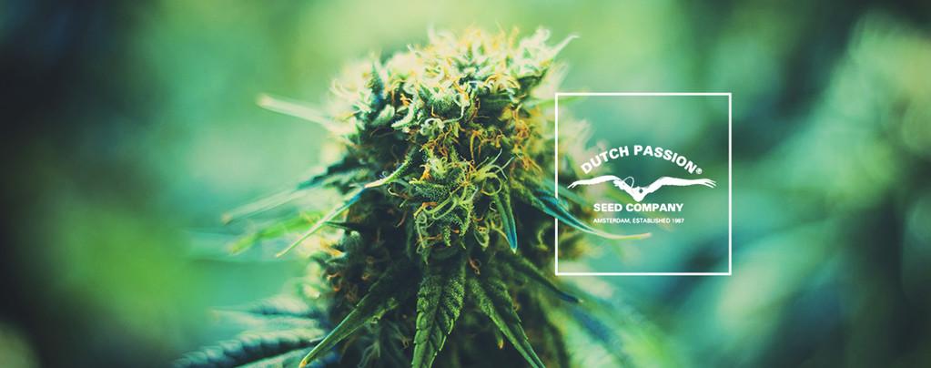 Alcune Curiosità sulla Dutch Passion: Uno Sguardo alle Sue Varietà di Cannabis Più Popolari