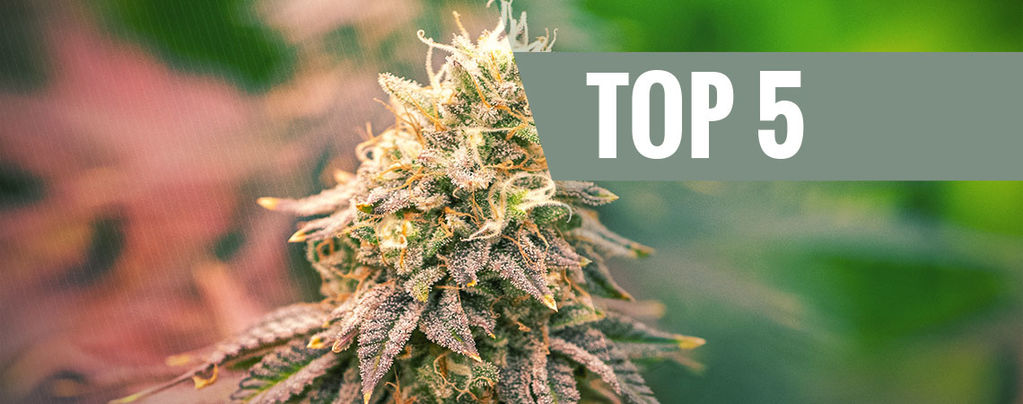 Top 5 Indica Strains For 2020