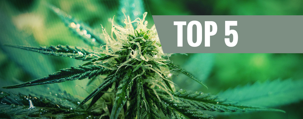 Top 5 Sativa Cannabis Strains for 2020
